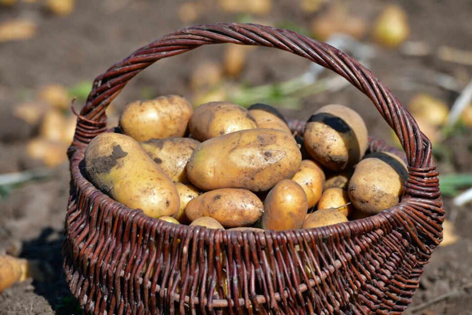 Kartoffeln Schlecht