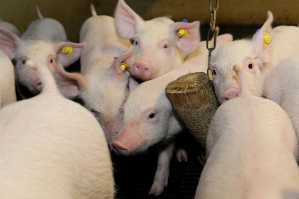 Greenpeace und Schweinehalter fordern verpflichtendes Tierwohl-Label auf Verpackungen