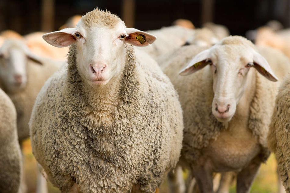 """Die Samenspenden stammten nach Angaben der Universität von vier Schafböcken, darunter auch von """"Sir Freddie"""""""