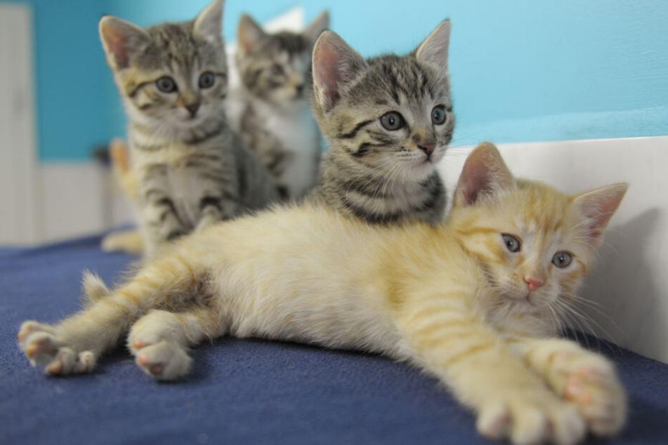 Tierquäler skalpieren Katzenjunges bei lebendigem Leib