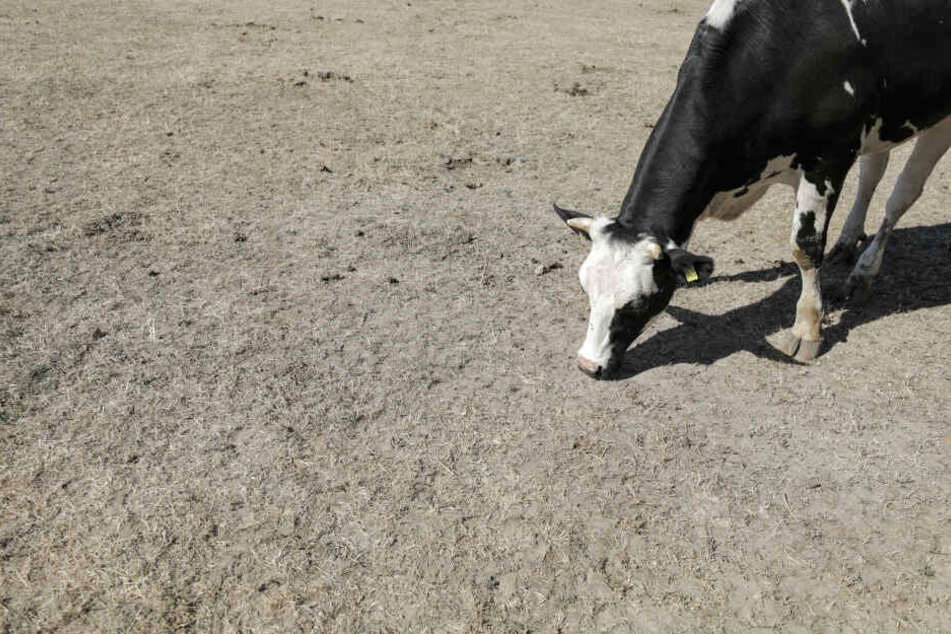 Auch schon 2018 kam es zu Problemen in Sachsen. Nutztiere hatten kaum noch Futter. (Archivbild)