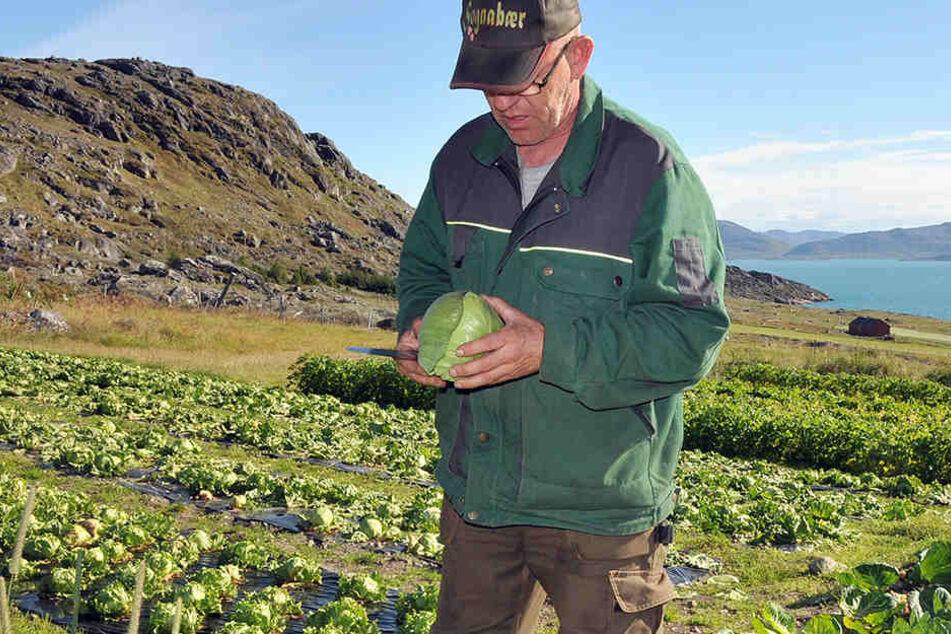 Ein Feld über einem Fjord in Südgrönland den Anbau von Weißkohl und Eisbergsalat.