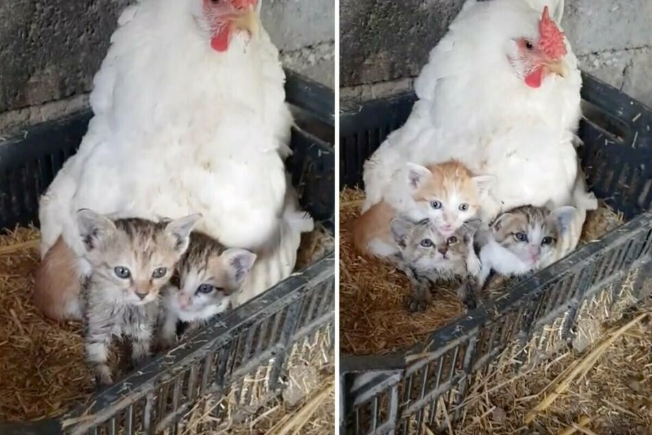 All cooped up: mother hen has three very special orphans to hatch