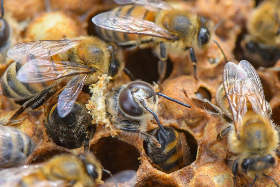 Neues Leasing-Modell: Miet-Bienen sind im Kommen