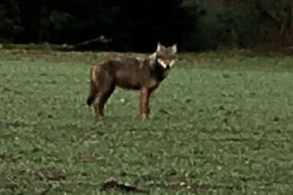 Ein Autofahrer macht das Foto des frei lebenden Wolfes am Donnerstag.