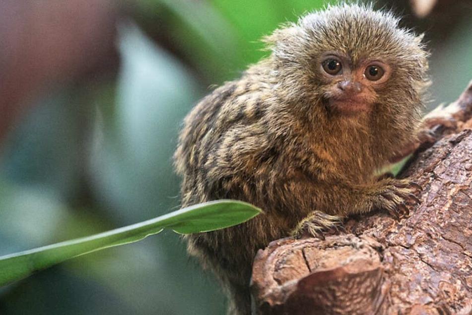 Kleinster Affe der Welt: Putzige Zwergseidenaffen im Kölner Zoo geboren