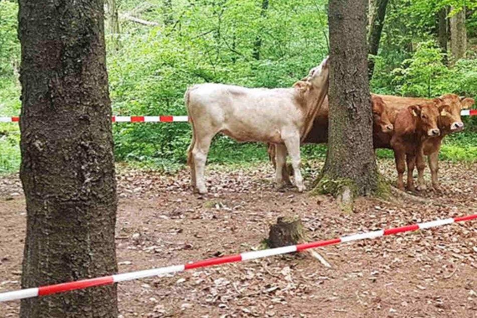 Diese vier Kühe wurden von der Polizei bei Burkardroth in Unterfranken eingefangen.