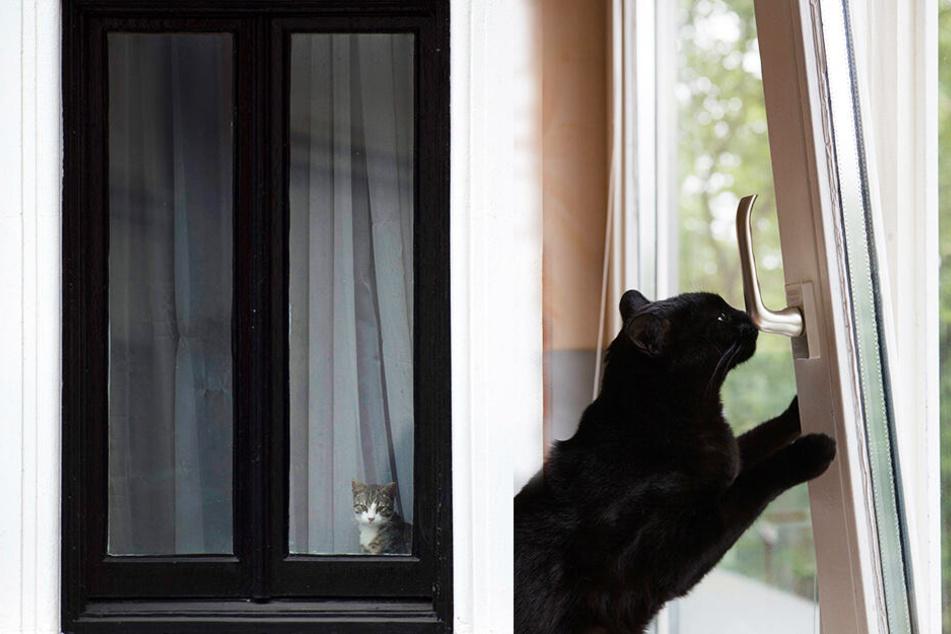 Katzen, die durch ein angekipptes Fenster versuchen, nach draußen zu gelangen, können sich schwere Verletzungen zuziehen. (Bildmontage)