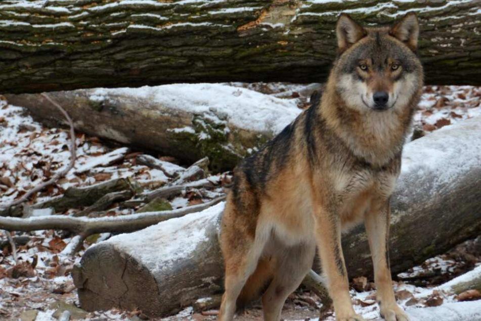 Schrecklicher Verdacht: Wurde der ausgebüxte Wildpark-Wolf auf A6 überfahren?