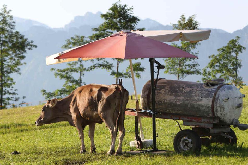 Eine Kuh steht auf einer Weide unter dem Schatten zweier Sonnenschirme an einer Tränke. Die Hitze könnte zum Start der Ferien zusätzliche Probleme machen.