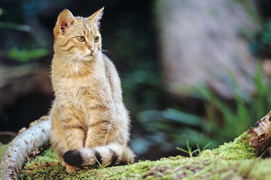 Vor allem die jungen Wildkatzen sehen den Hausmiezen verdammt ähnlich. Experten warnen trotzdem davor, die Tiere zu streicheln.