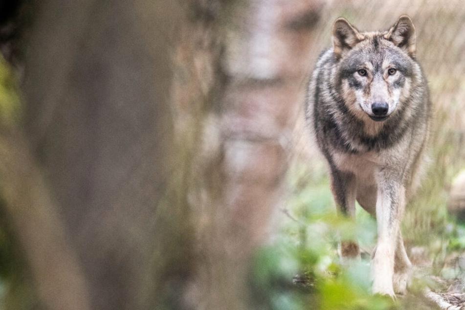 Ein Wolf läuft durch einen Wald (Symbolbild).
