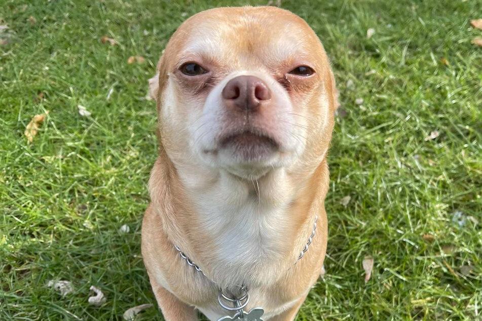 Dieses Foto soll Angst machen. Chihuahua Prancer soll ein kleines Teufelchen sein.