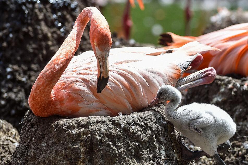 Die ersten Küken sind geschlüpft: Schnelle Brüter bei den Flamingos