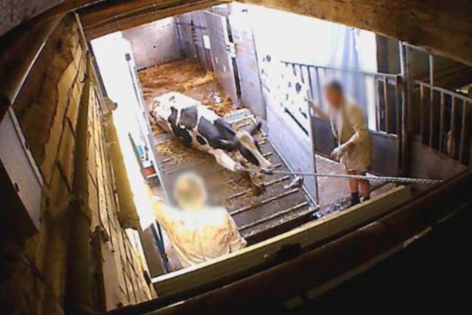 Ein Rind wird mit einer Art Seilwinde aus dem Transporter gezerrt.