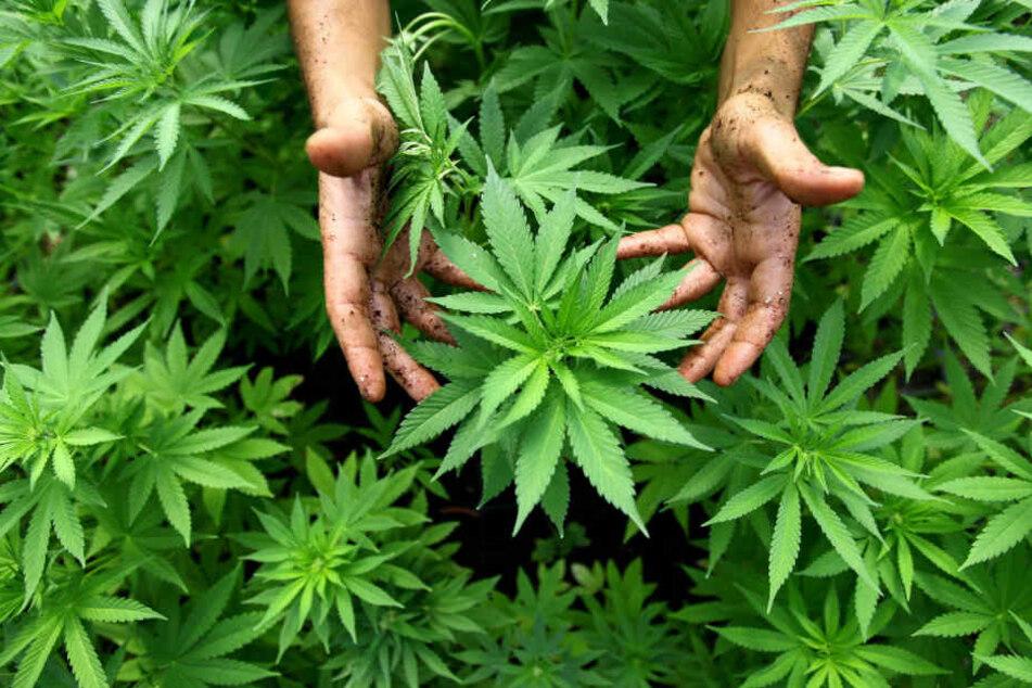 13 Pflanzen entdeckten die Polizeibeamten im Keller des Paares. (Symbolbild)