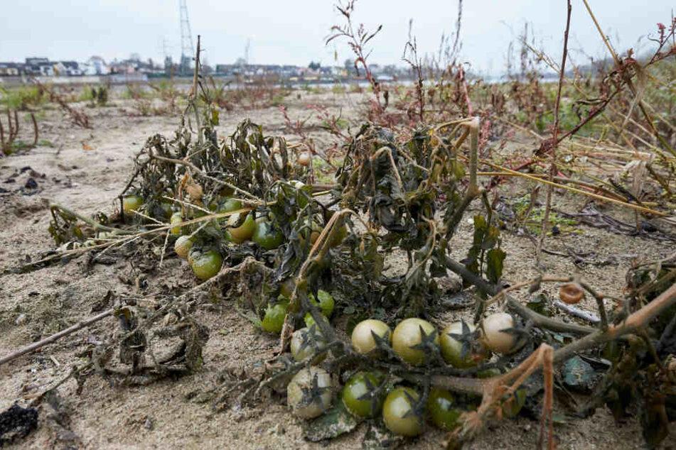 Die Tomaten werden sogar reif.