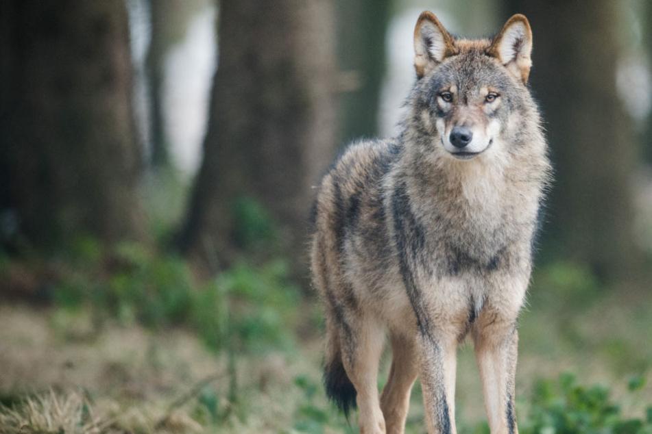 Ein Wolf könnte im Landkreis Oberallgäu für tote Kälber verantwortlich sein. (Symbolbild)