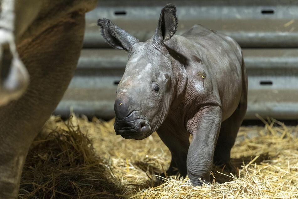 Breitmaulnashorn-Baby Salma steht neben seiner Mutter Claudia im Serengeti-Park Hodenhagen.