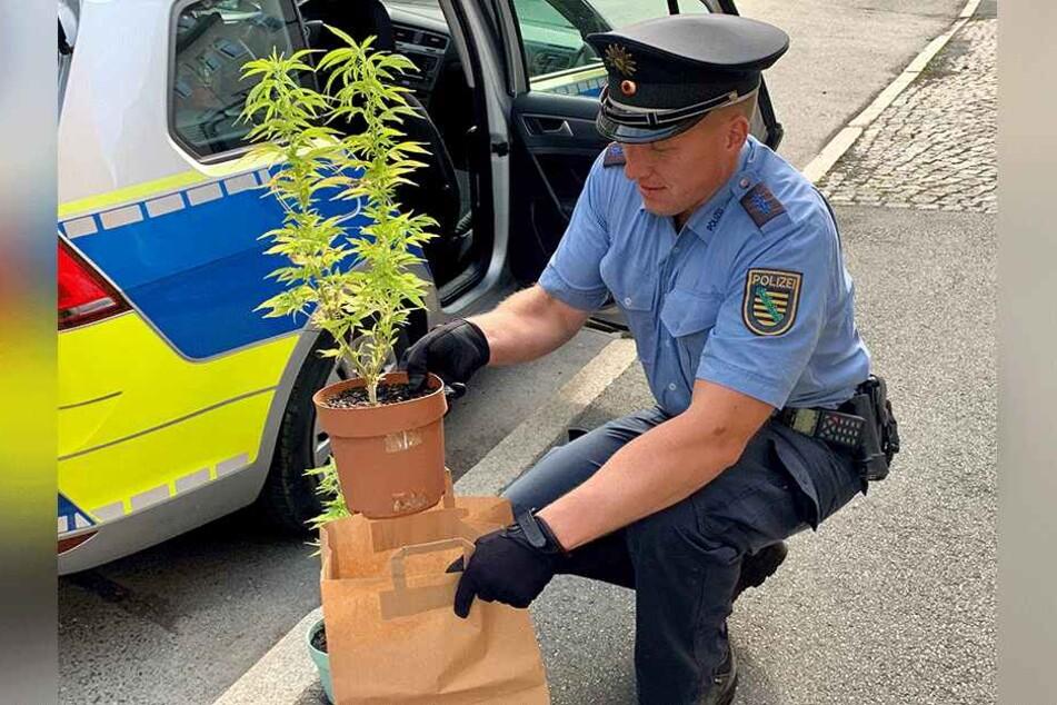Ein Polizist verstaute die Cannabispflanzen zum Abtransport.