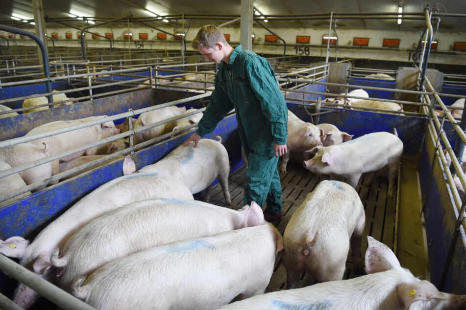Ein Schweinestall mit Mastschweinen.