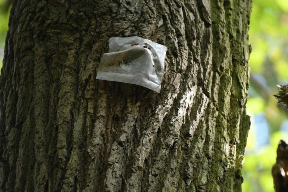 Die Plastikfolie soll sicher stellen, das vor einer Rodung in diesem Baum keine Fledermaus ihr Quartier nehmen kann.