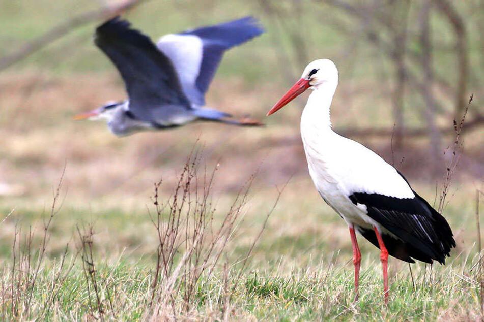Der Glauchauer Storch wartet schon seit zwei Wochen auf seine Frau.