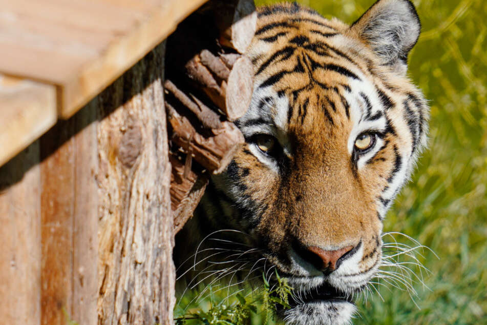 Neben dem Indochinesischen Tiger seien auch ausgestopfte Tiger- und Bärenköpfe gefunden worden. (Symbolbild)