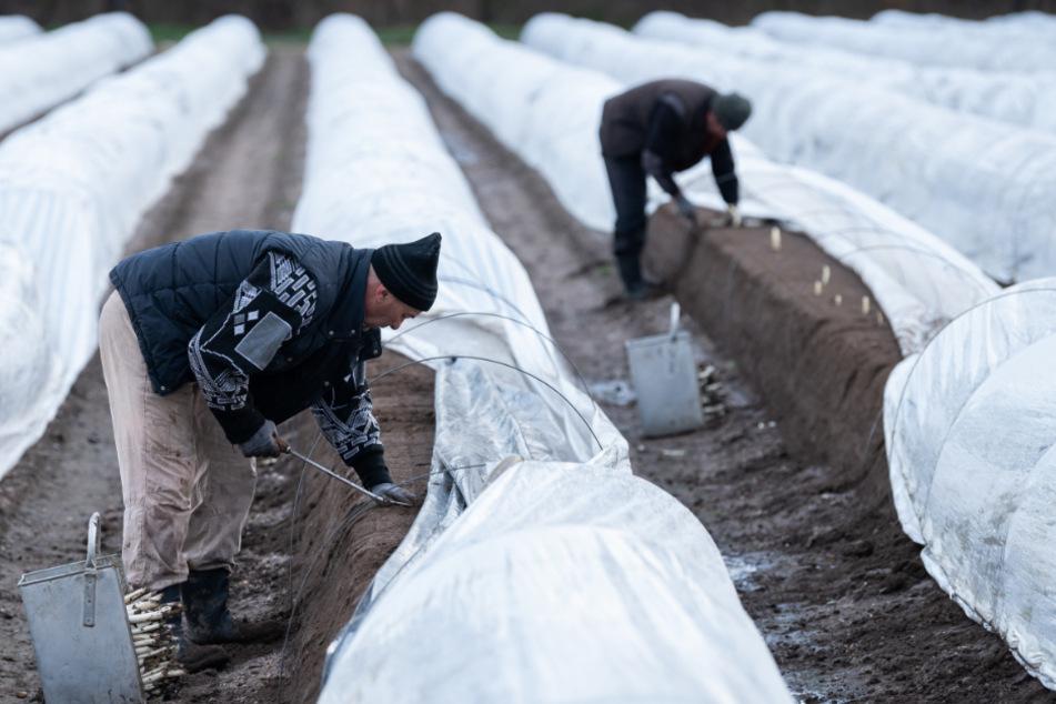 Beheizte Felder? So ernten Bauern schon jetzt Spargel