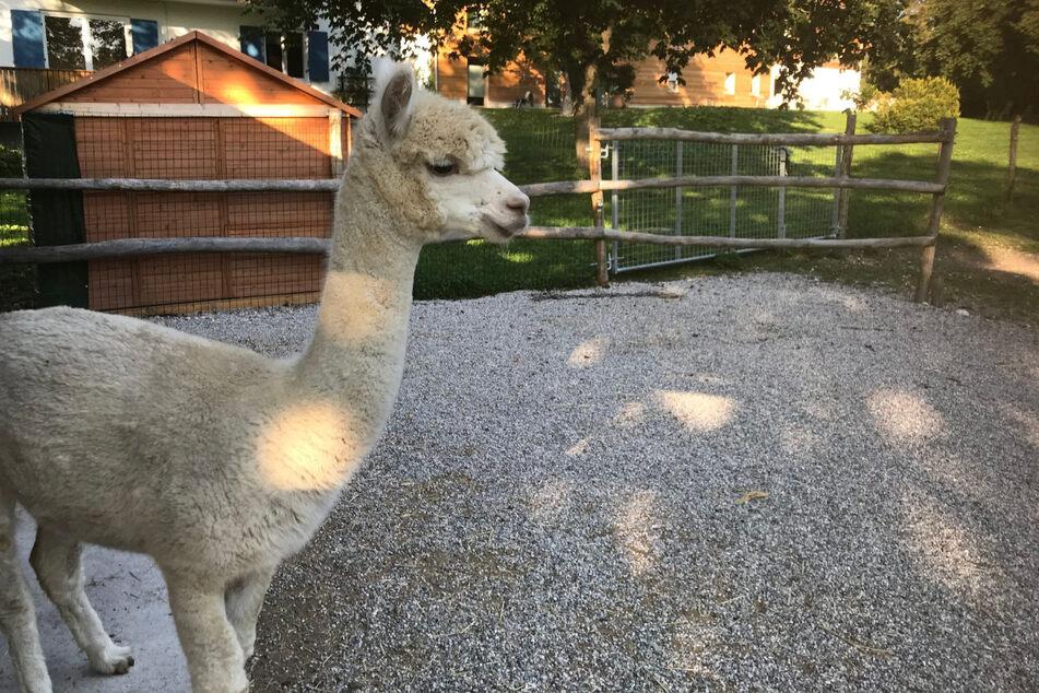 """Auf der """"Tabaluga-Ranch"""" von Peter Maffay in Oberbayern leben Alpakas, Kaninchen und Bisons."""