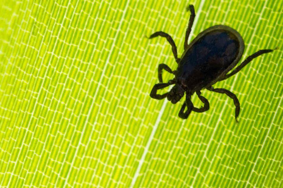Spinnenartige Riesenzecken aus Tropen haben in Deutschland überwintert