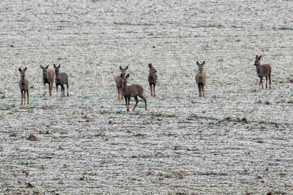 Rehe stehen auf einem mit Raureif überzogenem Feld.