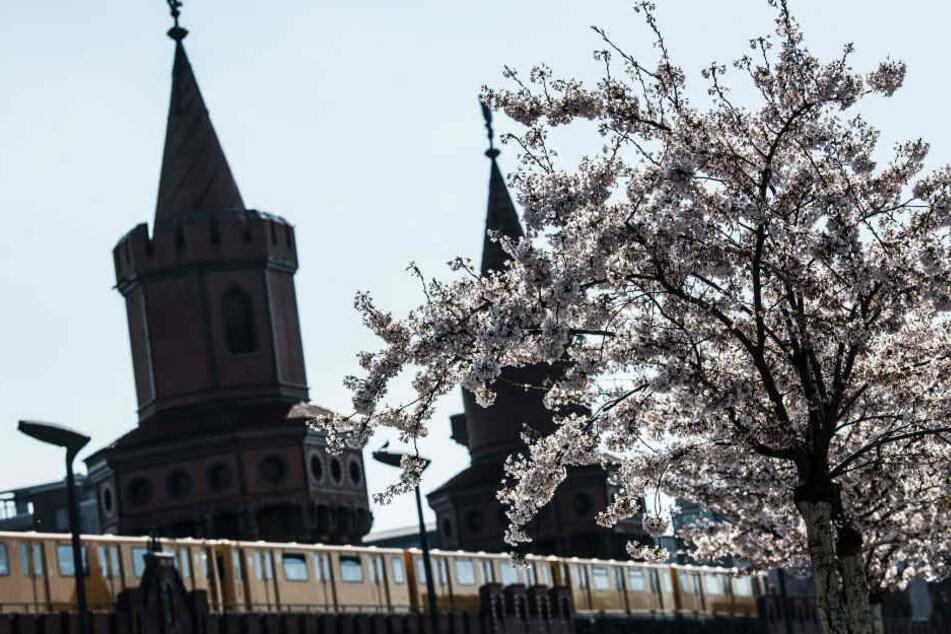 Kirschbäume blühen an der Oberbaumbrücke.