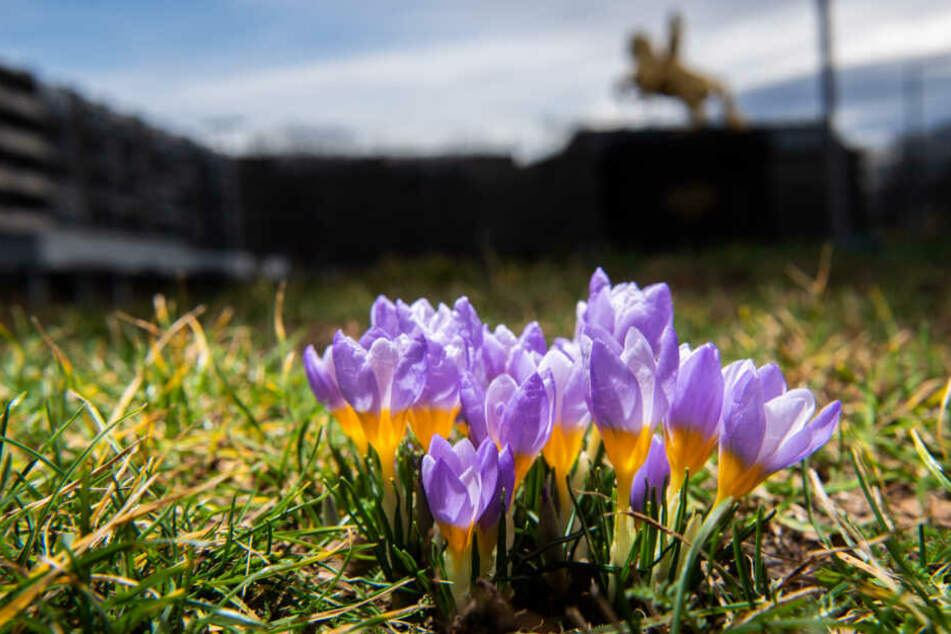 Ende Januar blühten, wie hier in Dresden, vielerorts schon die Krokusse.