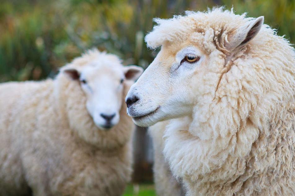 Tierhasser unterwegs? Schafe verschwinden von Wiese und werden gehäutet