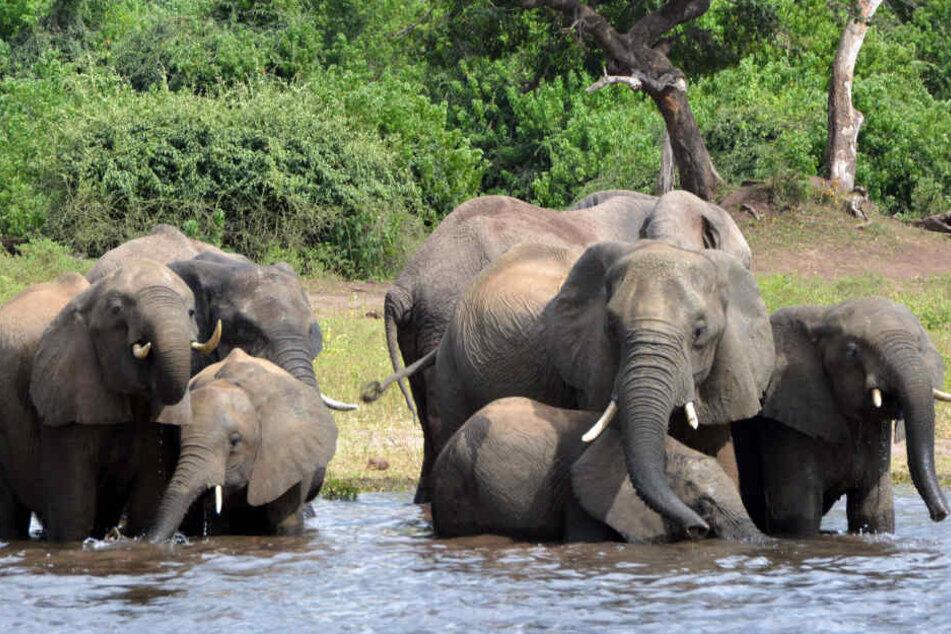 Elefanten dürfen in Botsuana wieder gejagt werden.