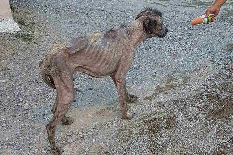Kranker Hund böse verprügelt, doch heute ist er wunderschön