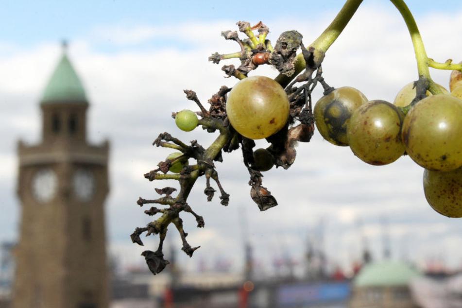 Direkt am Hamburger Hafen wuchsen fast 24 Jahre lang Weinreben.