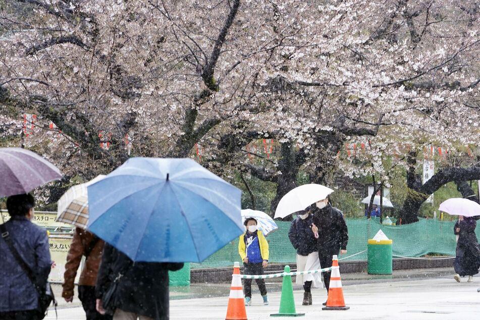 Menschen spazieren bei Regen an Kirschblüten im Ueno Park vorbei.