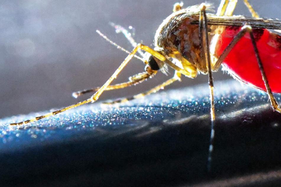 Das Archivbild aus dem Mai 2018 zeigt eine mit Blut vollgesaugte Stechmücke.