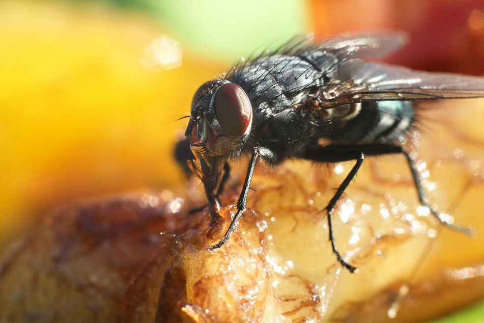 Hört lieber auf zu essen, wenn eine Fliege auf Eurer Mahlzeit landet!