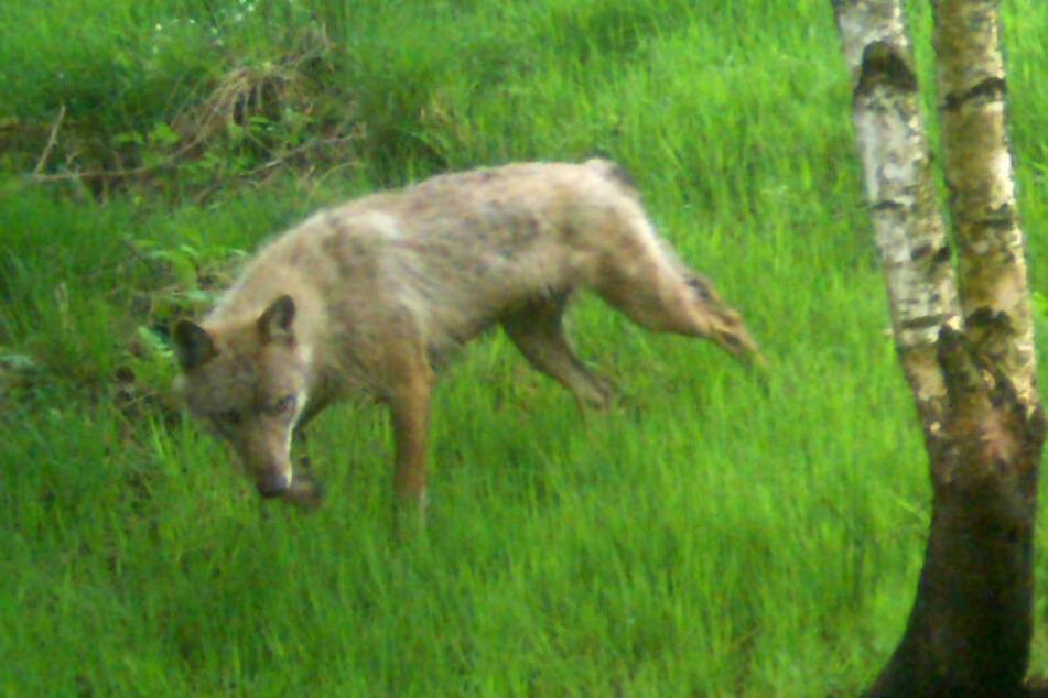 Im Mai 2018 hat eine Fotofalle einen Wolf bei Geltorf im Kreis Schleswig-Flensburg fotografiert.