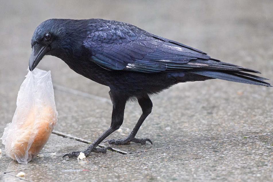 Eine Krähe versucht, ein Brötchen in einer Plastiktüte zu fressen.