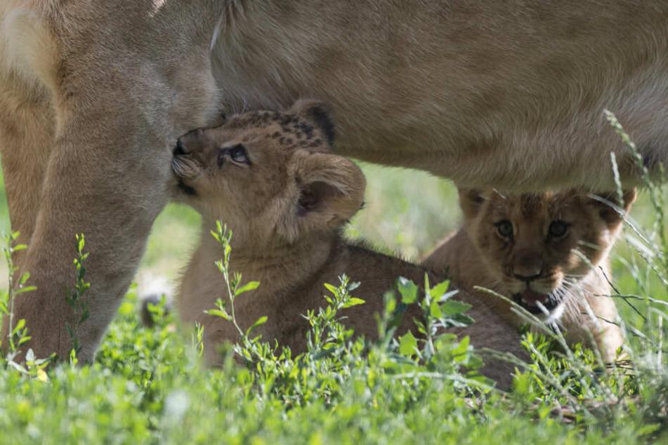 Süß! Hier machen die Erfurter Löwenbabys ihre ersten Schritte ins Freie