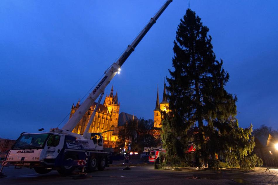 27 Meter hoch ist die Rotfichte und wurde mit einem 80-Tonnen-Kran in Erfurt aufgestellt.