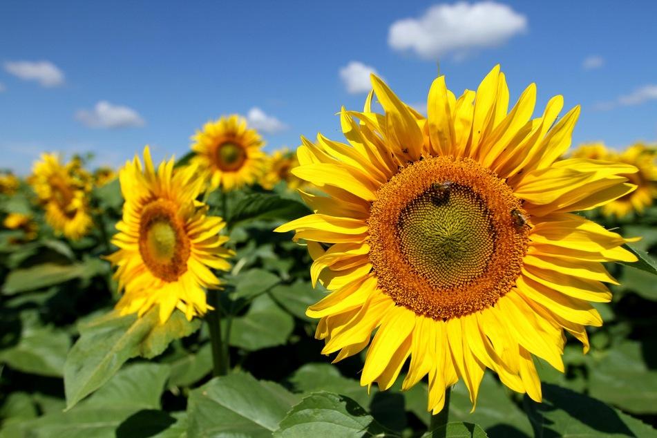 Sonnenblumen- und Rapsöl werden meist raffiniert angeboten und sind sehr gut zum Braten geeignet.