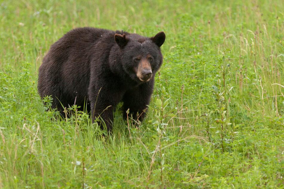 Ein junger Schwarzbär. (Symbolbild)