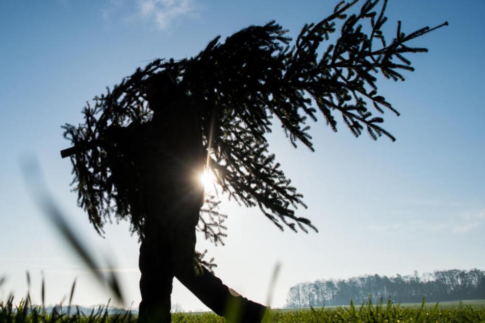 Ein geschlagener Weihnachtsbaum kann als Futter oder Brennmittel verwendet werden (Symbolfoto).