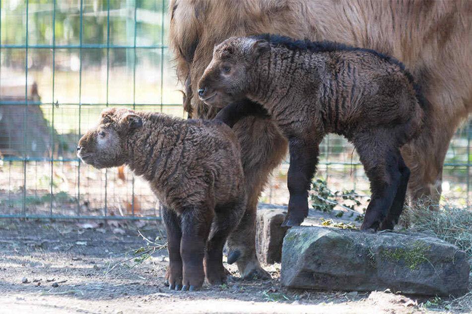 Die wollen nur spielen: Die jungen Goldtakine Aang und Aiguo im Dresdner Zoo.