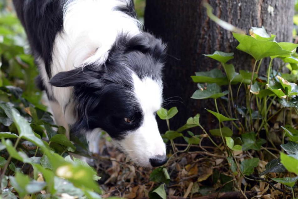 Immer öfters sterben Hunde, weil sie präparierte Köder gefressen haben.